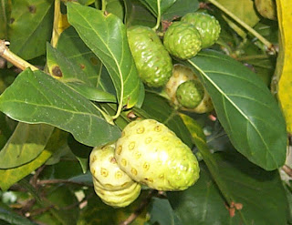 Noni fruit can cure various diseases true or not?