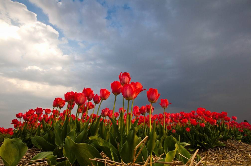 field of red tulips stormy sky