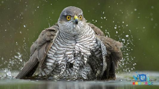 chim cắt