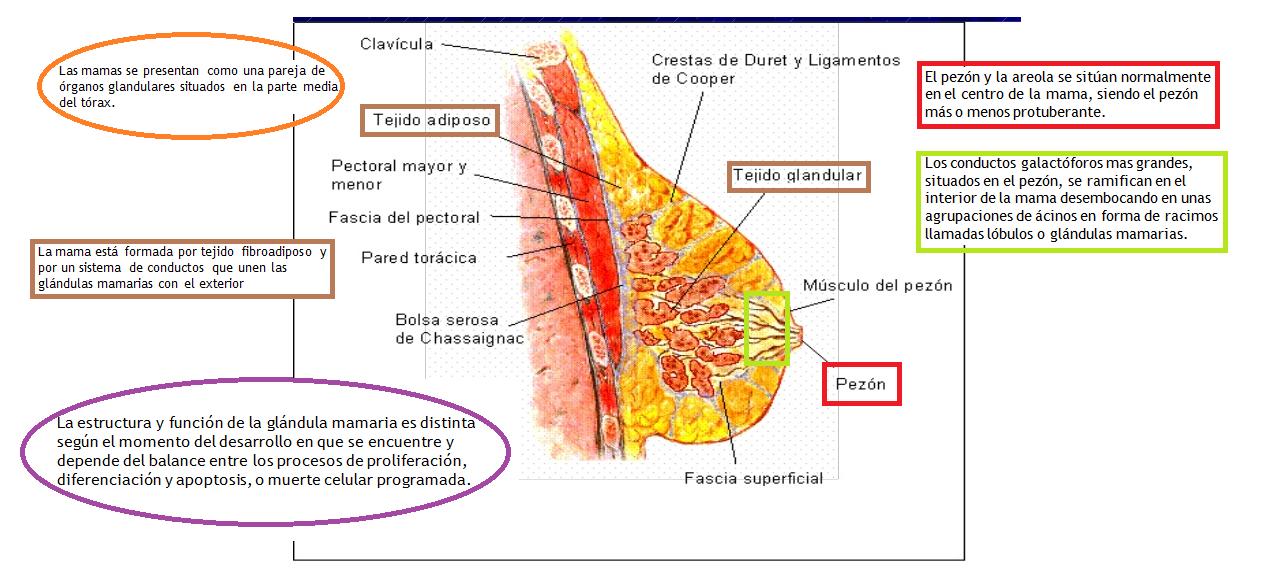 Ginecologia/ ureta acosta cristina: 1.- Anatomia de genitales ...