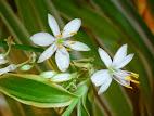 Chlorophytum comosun