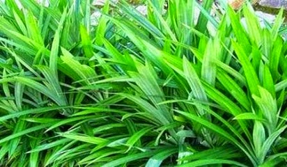 manfaat daun pandan untuk obat,daun pandan untuk wajah,untuk rambut,untuk kecantikan,kegunaan daun pandan dalam perubatan,daun pandan dalam masakan,