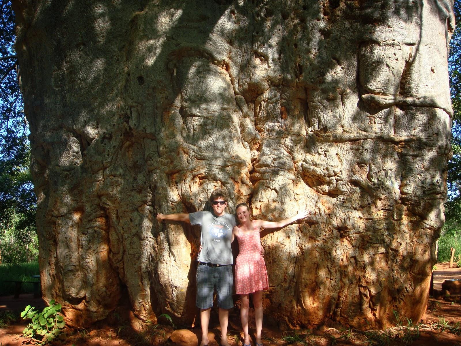 Old baobab Tzaneen