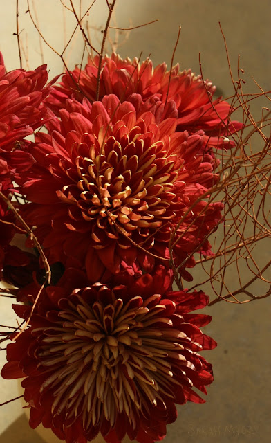 Chrysanthemums, red, burgundy, flowers, flower, mums, sarah, myers, plants, petals, pattern, detail, close-up, macro, photograph, photography, arrangement