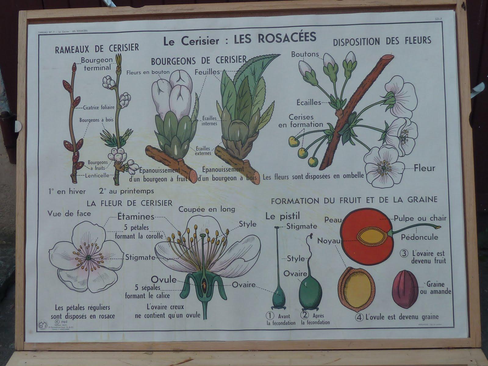 ecole fmr 1000 affiches scolaires la carotte et le cerisier affiche scolaire mdi 1960. Black Bedroom Furniture Sets. Home Design Ideas