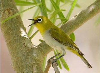 Merawat Burung Pleci