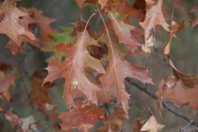 white oak leaves in Autumn