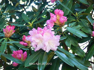 Healthy pink rhododendron in bloom in Mississauga Ontario springtime (April).
