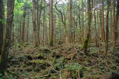 Aokigahara Forest @ www.aokigaharaforest.com
