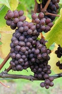Jesus Christ is the vine