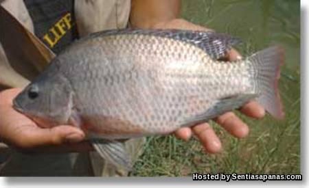 Ikan Tilapia Chitralada