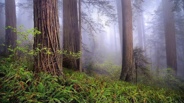 USA California Redwoods Morning Forest Mist Spring Landscape HD Wallpaper
