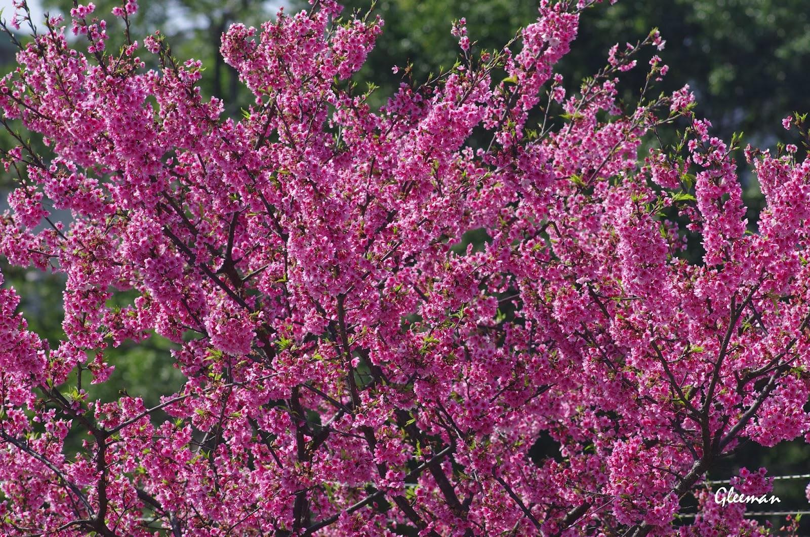 自強公園旁停車場的三株櫻花今年也開得很漂亮