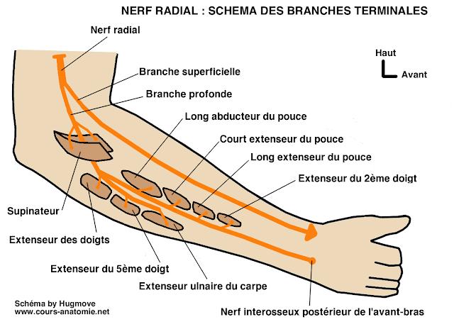 anatomie :Nerf radial Nerf+radial2
