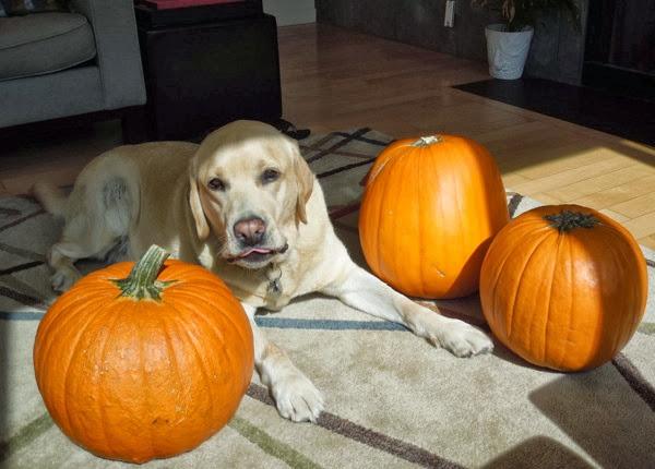 Labrador Cooper inspecting pumpkins