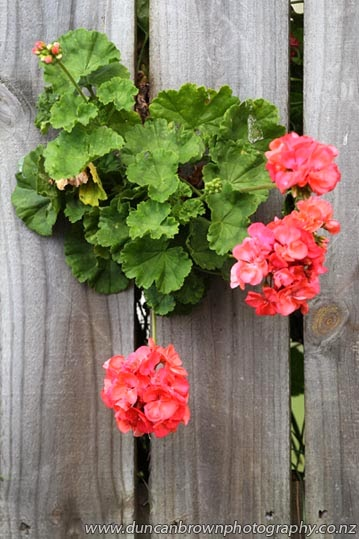 Geranium escape artists, Hastings photograph