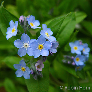 Forget Me Nots growing in yard