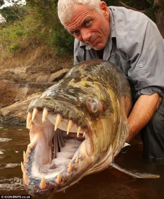 Conheça a assustadora piranha gigante-2013