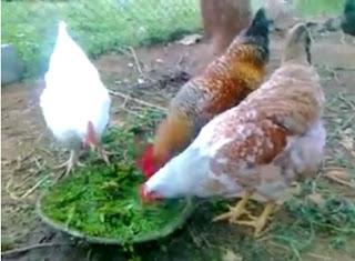 bibit ayam kampung petelur