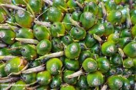 buah virescens
