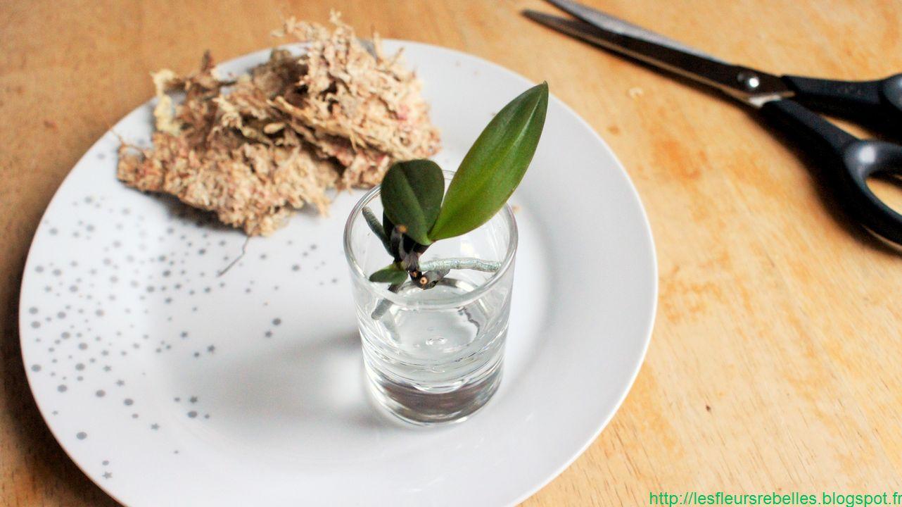 Diy comment s parer et rempoter un keiki de phalaenopsis orchid e - Couper la tige d une orchidee ...