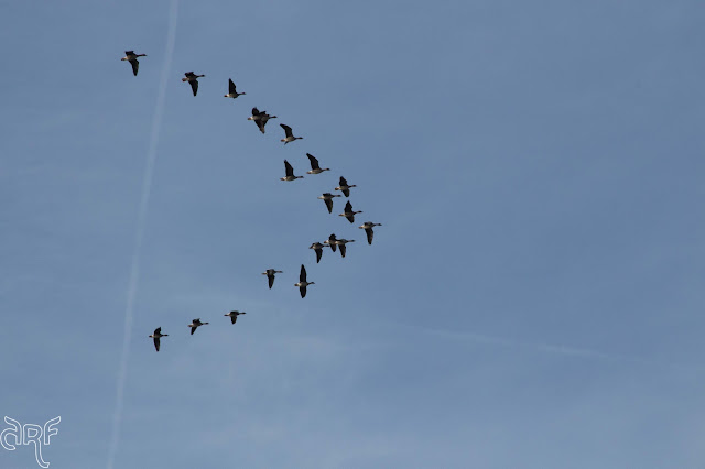 geese in V-formation
