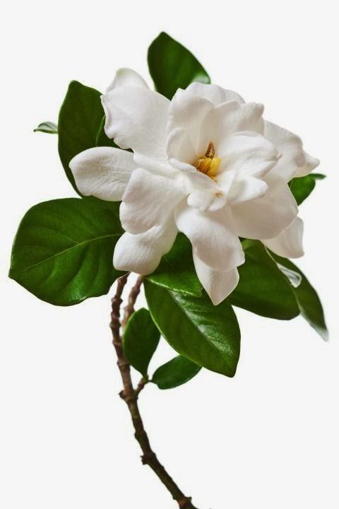 Foto Bunga Gardenia Gambar Bunga Valentine untuk Kekasih Tercinta