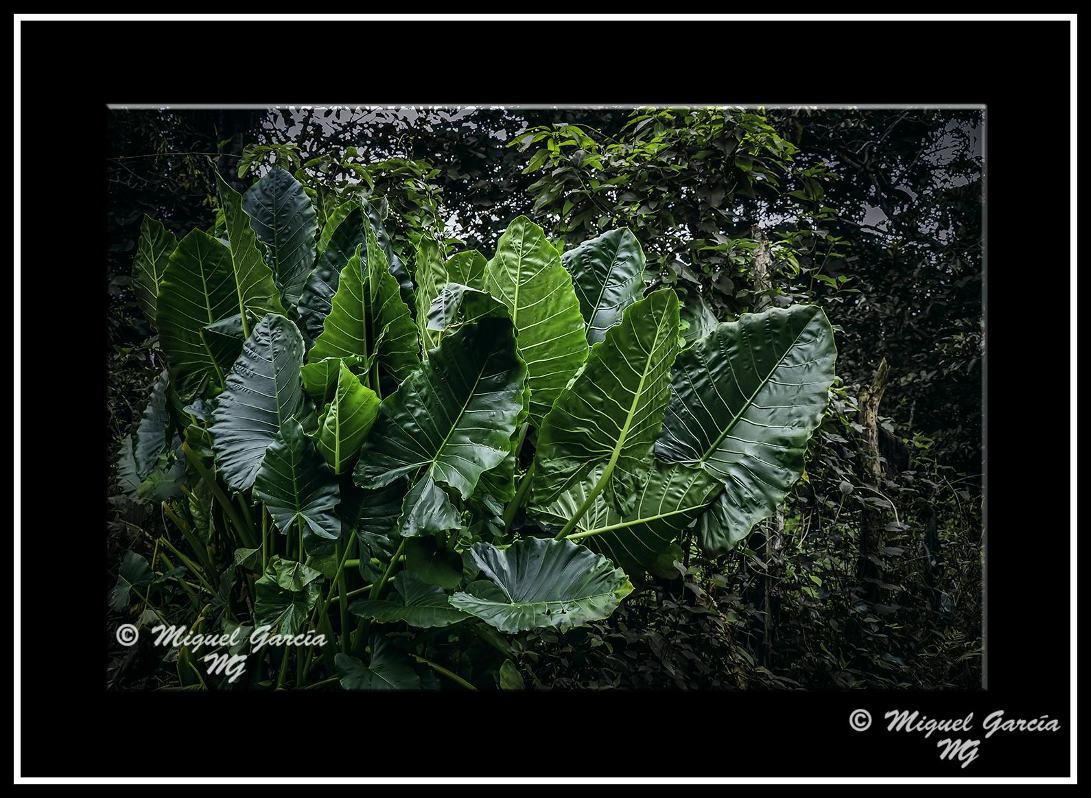 Amazon a peruana algunas plantas iii y final el ojo for Planta ornamental oreja de elefante