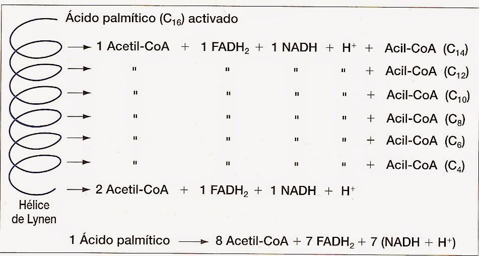 Beta oxidación de los ácidos grasos