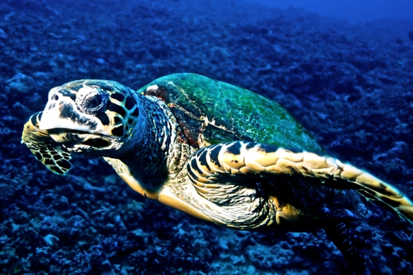 Hawksbill pics engangered species