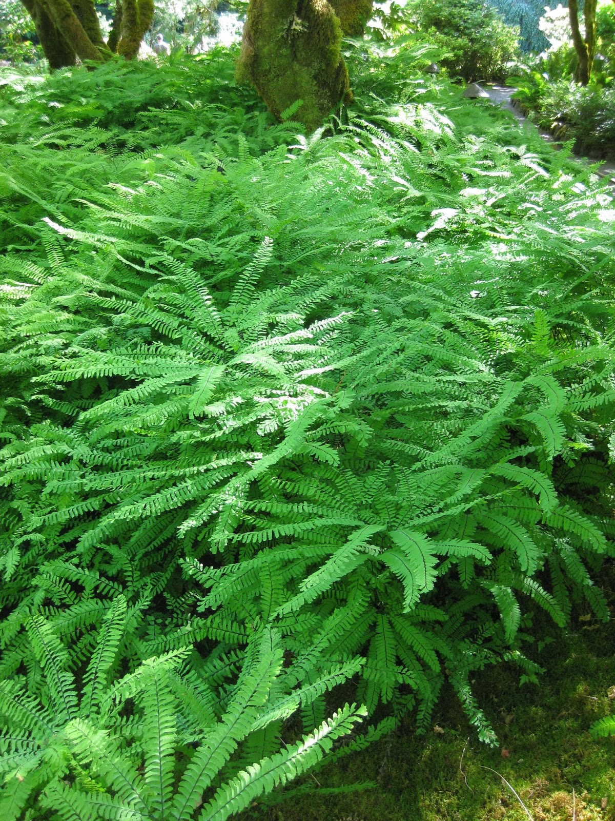 rbg has a fern u0026 moss garden that displays well over 200 different types of ferns from around the world i always appreciated ferns but not fully until i - Fern Types