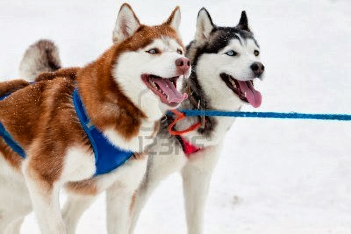 Once You And Your Team Havepleted Your Harness Training, You Are Ready  To Begin Work Together As A Sled Team