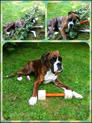 Boxer Amy im Garten
