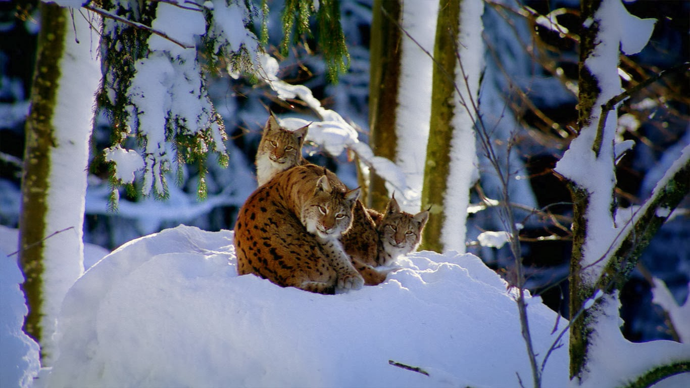 Lynx in Bavarian forest, Germany (© Framepool) 360