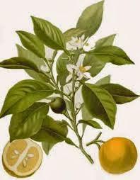 Usos de Aromaterapias del Aceite esencial de Petitgrain
