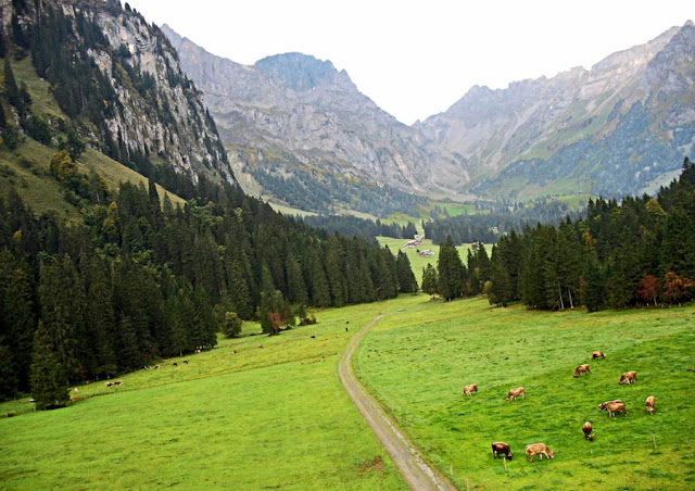 cattle grazing in the Swiss countryside
