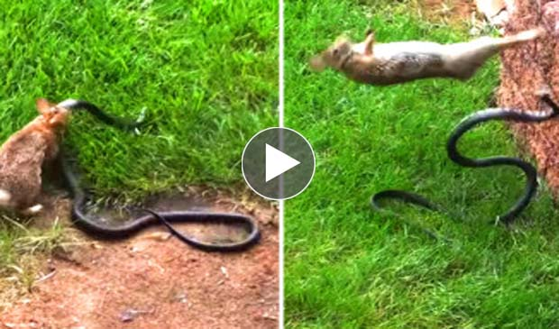 how to catch a rabbit with a snake