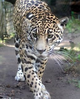 ملف كامل عن اجمل واروع الصور للحيوانات  المفترسة   حيوانات الغابة  2126326186_4148045bd0