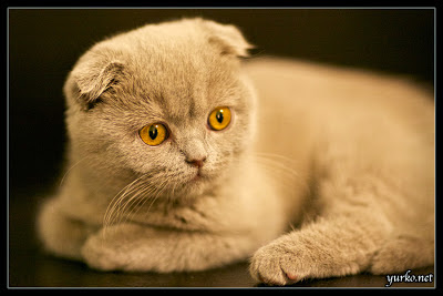 Marta: 3 months old Lilac Scottish Fold