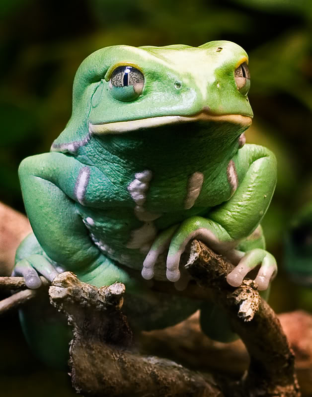 Waxy Monkey Tree Frog has one of those friends that gets a cold ...