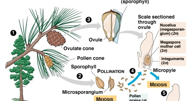 Pengertian Angiospermae dan Gymnospermae