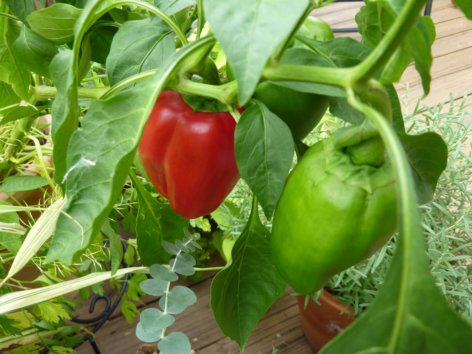 """Picture of 2 (TWO) Live Pepper Red Beauty Plant Fit 4"""" Pot"""