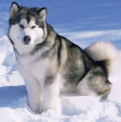 Alaskan Malamute Dog Pictures 1