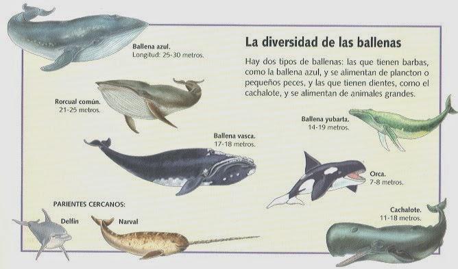 Pequeño Universo: Cetáceos: ballenas.