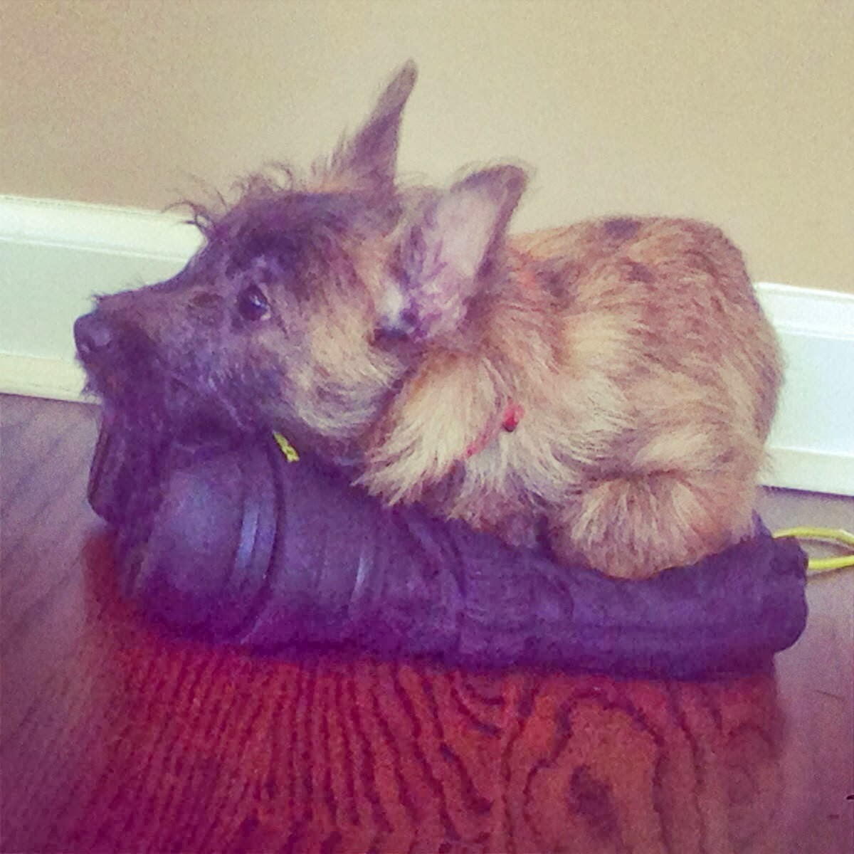 Cute dogs - part 7 (50 pics), tiny dog lays on the shoe