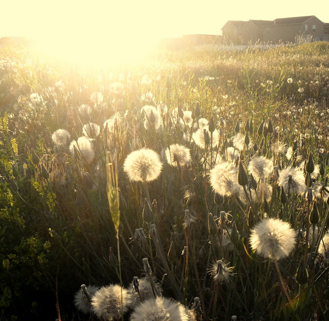 dandelions in summer light