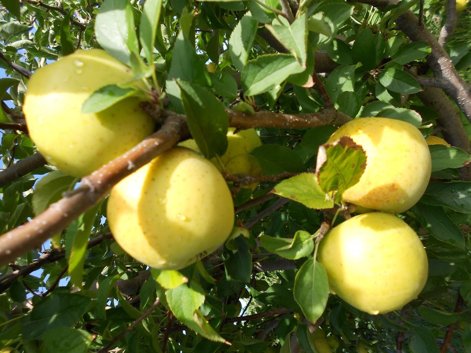 Brenda's Berries & Orchards: 'GoldRush' apples & apple crosses ...