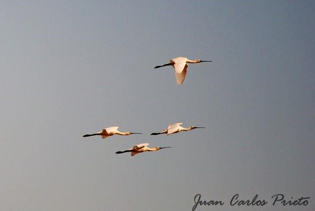 Excursión Grupo Local SEO-Sevilla SEO/BirdLife a las marismas de Doñana. Espátula común.