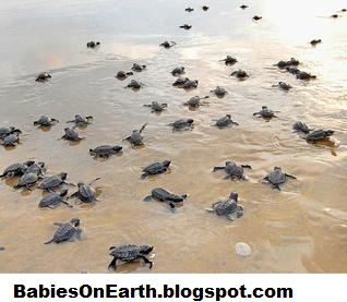 Baby Olive Ridley