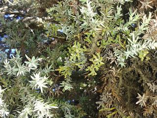 Color hoja enebro y planta parásita. Foto Pedro de Hoz